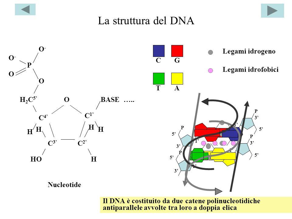 La struttura del DNA H H HO H H2C5 H2C5 O BASE ….. C4C4 C3C3 C2C2 C1C1 H H P O-O- O-O- O O P P 5 5 3 3 1 1 P P 1 1 5 5 3 3 Legami idrogeno A TCG Legam