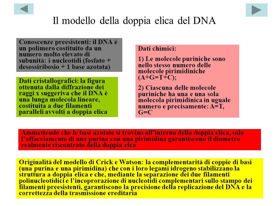 Il modello della doppia elica del DNA Dati cristallografici: la figura ottenuta dalla diffrazione dei raggi x suggeriva che il DNA è una lunga molecol