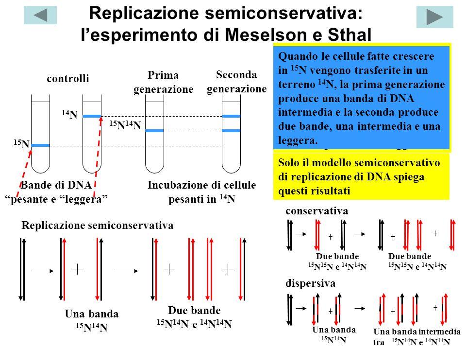 Replicazione semiconservativa: lesperimento di Meselson e Sthal Prima generazione Seconda generazione Incubazione di cellule pesanti in 14 N Centrifug