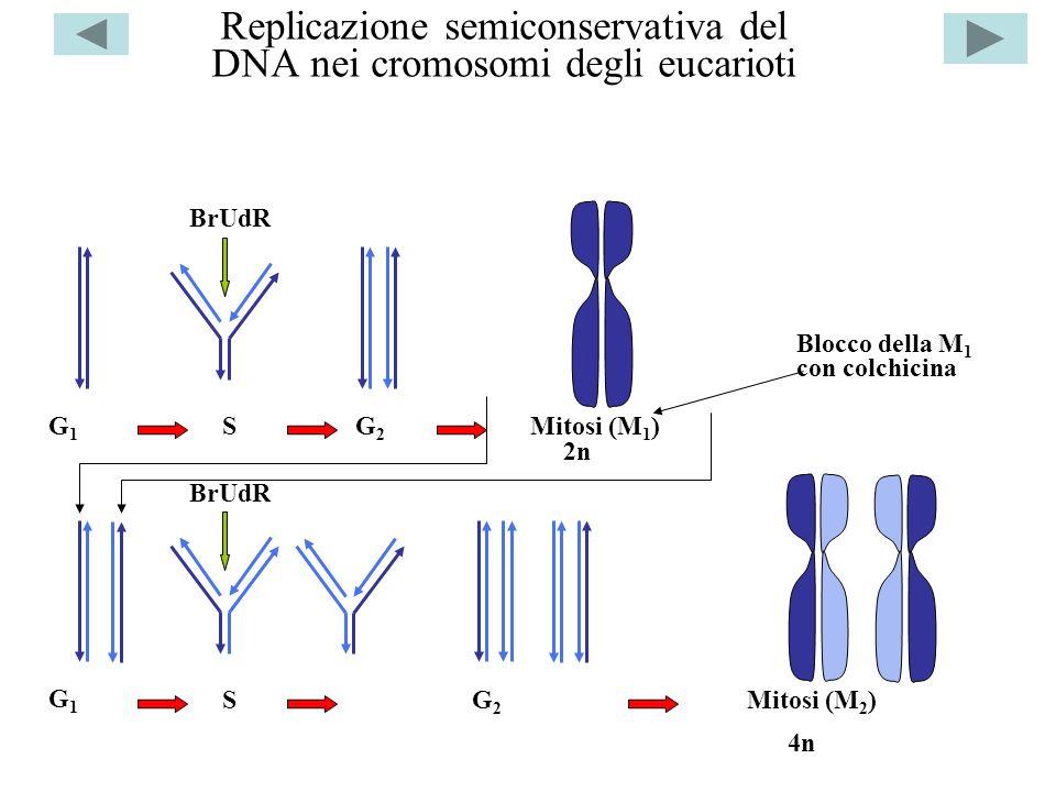 Replicazione semiconservativa del DNA nei cromosomi degli eucarioti G1G1 S BrUdR G2G2 Mitosi (M 1 ) G1G1 S BrUdR G2G2 Mitosi (M 2 ) 2n Blocco della M