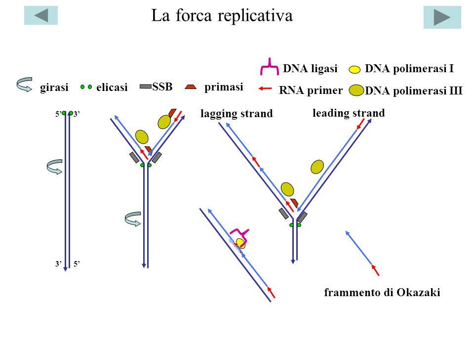 La forca replicativa 5 5 3 3 girasielicasi SSBprimasi RNA primer DNA polimerasi III DNA polimerasi IDNA ligasi frammento di Okazaki leading strand lag