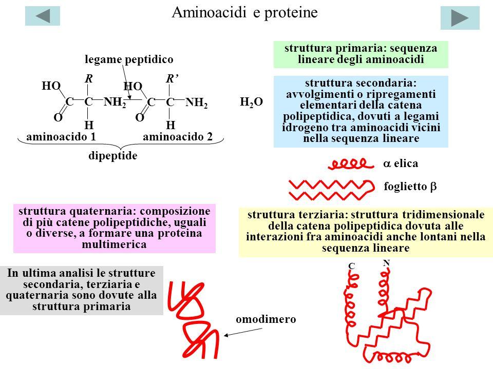 Aminoacidi e proteine CC H NH 2 R O HO CC H NH 2 O HO R NH aminoacido 1aminoacido 2 legame peptidico dipeptide H2OH2O elica foglietto struttura primar