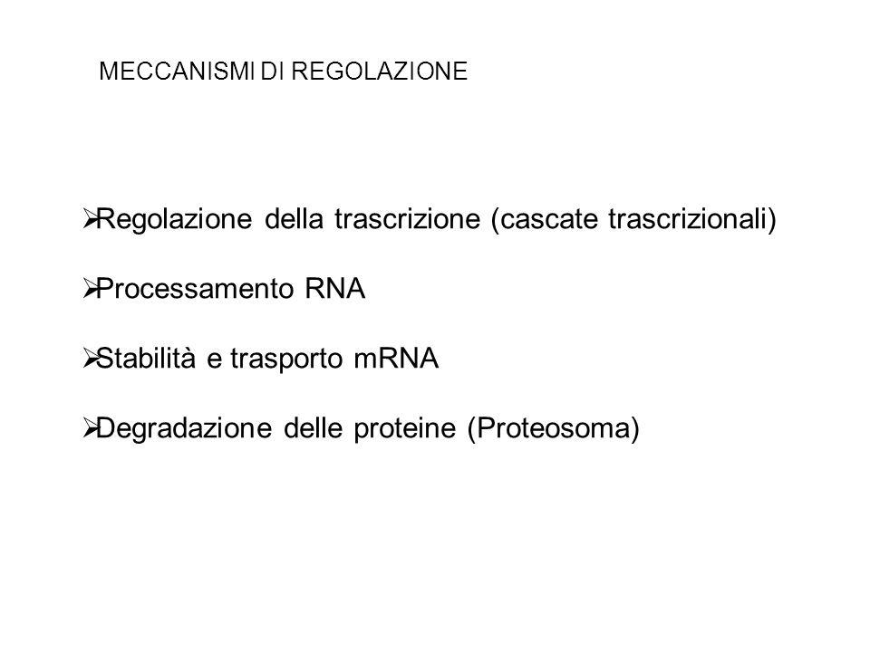 Regolazione della trascrizione (cascate trascrizionali) Processamento RNA Stabilità e trasporto mRNA Degradazione delle proteine (Proteosoma) MECCANIS