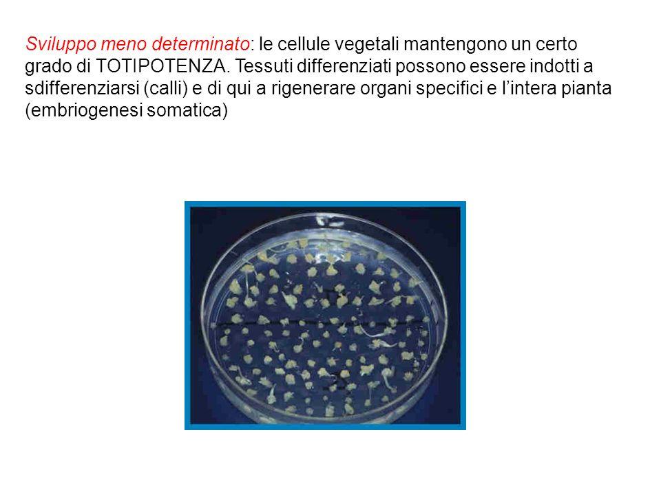 Sviluppo meno determinato: le cellule vegetali mantengono un certo grado di TOTIPOTENZA. Tessuti differenziati possono essere indotti a sdifferenziars
