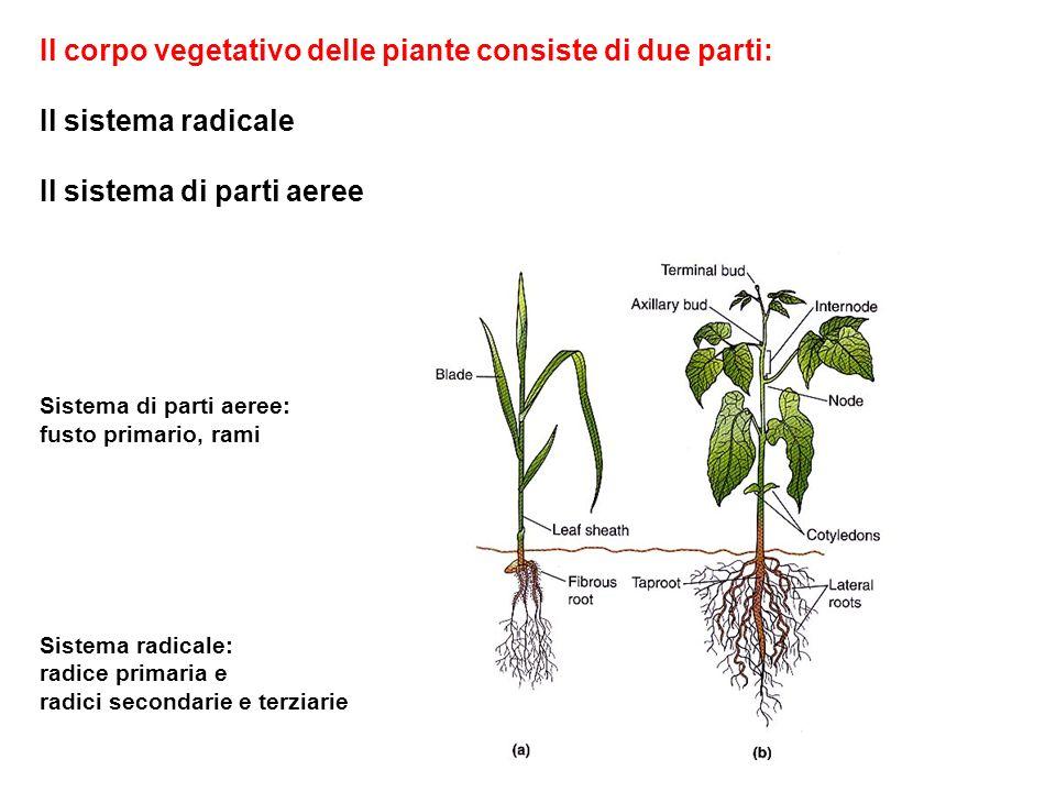 Il corpo vegetativo delle piante consiste di due parti: Il sistema radicale Il sistema di parti aeree Sistema di parti aeree: fusto primario, rami Sis