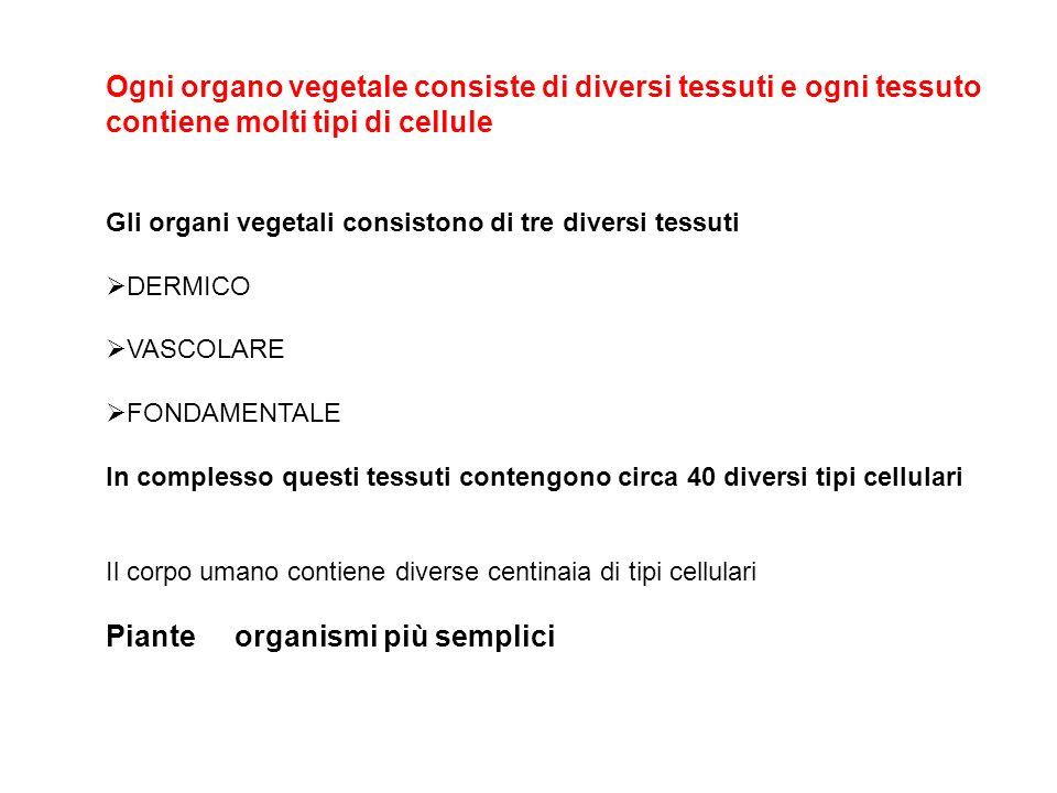Ogni organo vegetale consiste di diversi tessuti e ogni tessuto contiene molti tipi di cellule Gli organi vegetali consistono di tre diversi tessuti D