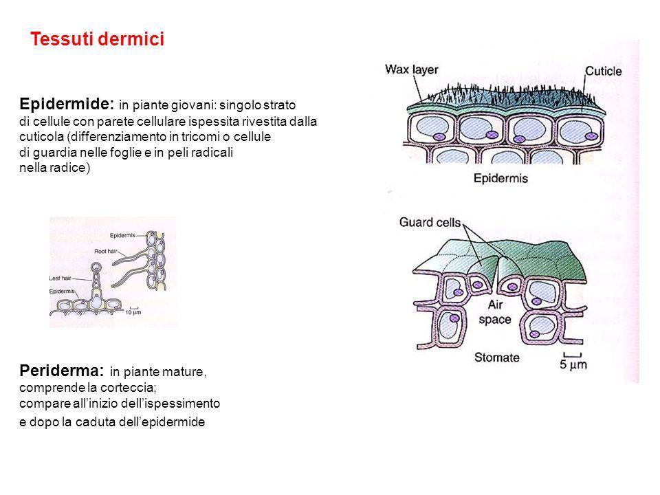 Tessuti dermici Epidermide: in piante giovani: singolo strato di cellule con parete cellulare ispessita rivestita dalla cuticola (differenziamento in