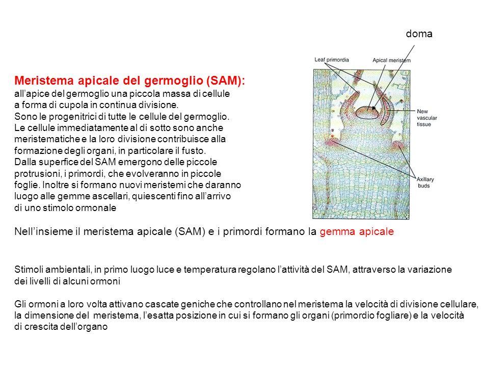 Meristema apicale del germoglio (SAM): allapice del germoglio una piccola massa di cellule a forma di cupola in continua divisione. Sono le progenitri