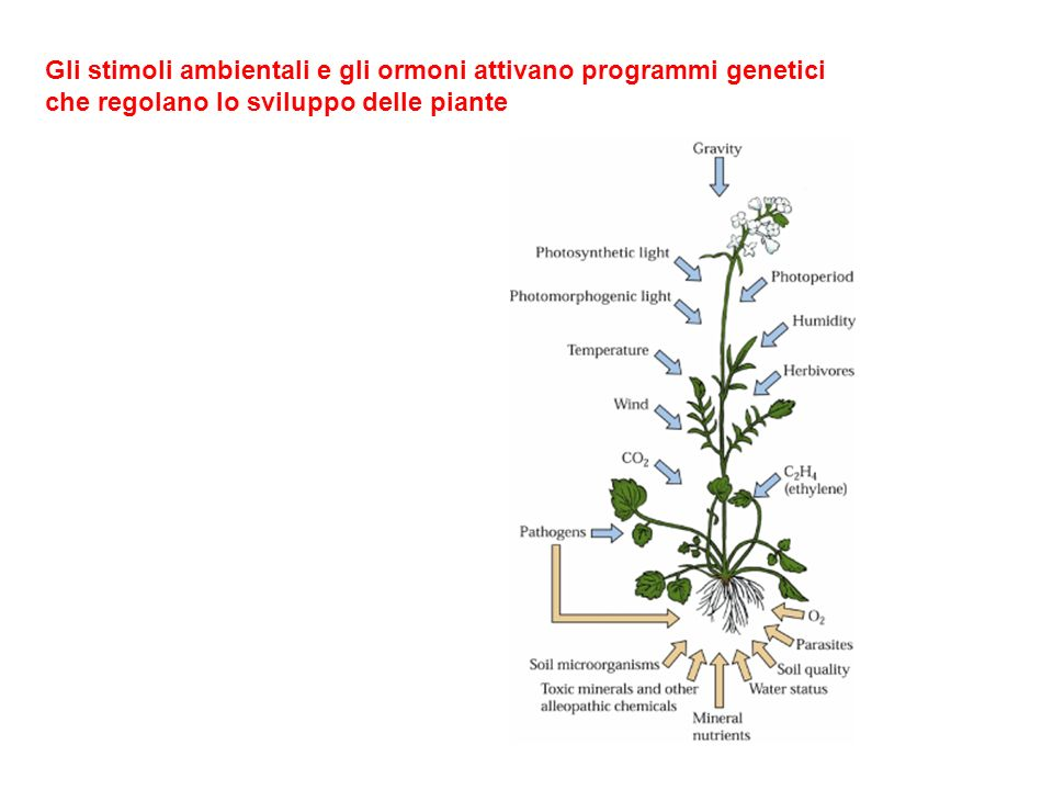 Gli stimoli ambientali e gli ormoni attivano programmi genetici che regolano lo sviluppo delle piante