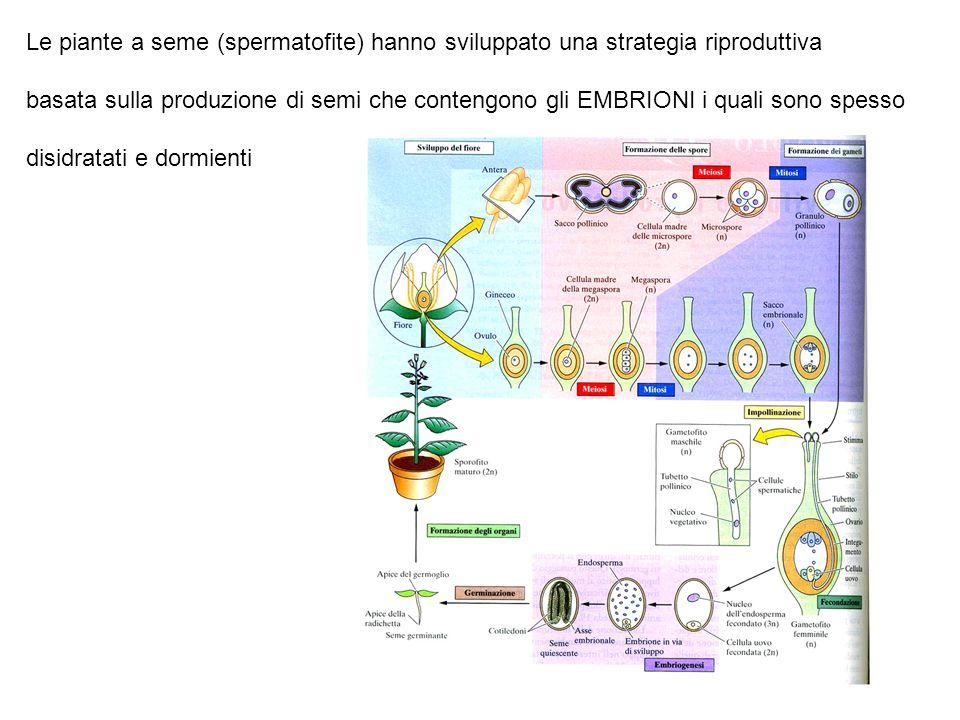 Le piante a seme (spermatofite) hanno sviluppato una strategia riproduttiva basata sulla produzione di semi che contengono gli EMBRIONI i quali sono s