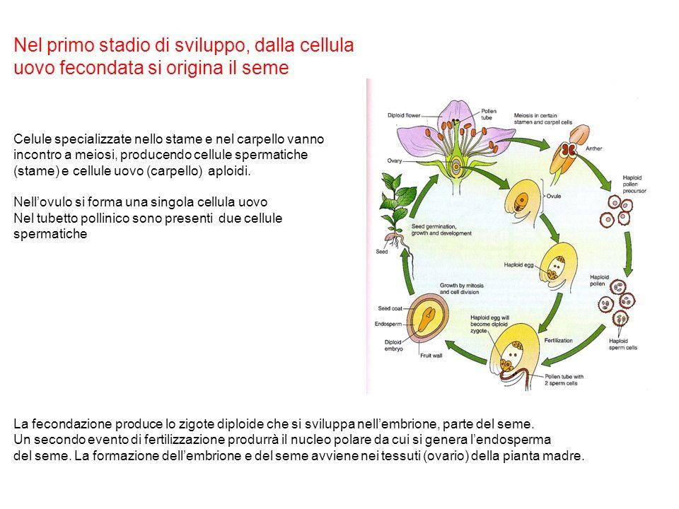Nel primo stadio di sviluppo, dalla cellula uovo fecondata si origina il seme Celule specializzate nello stame e nel carpello vanno incontro a meiosi,