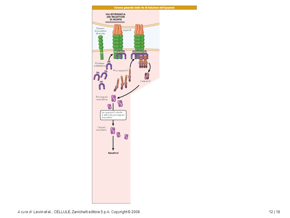 12 | 18A cura di Lewin et al., CELLULE, Zanichelli editore S.p.A. Copyright © 2008