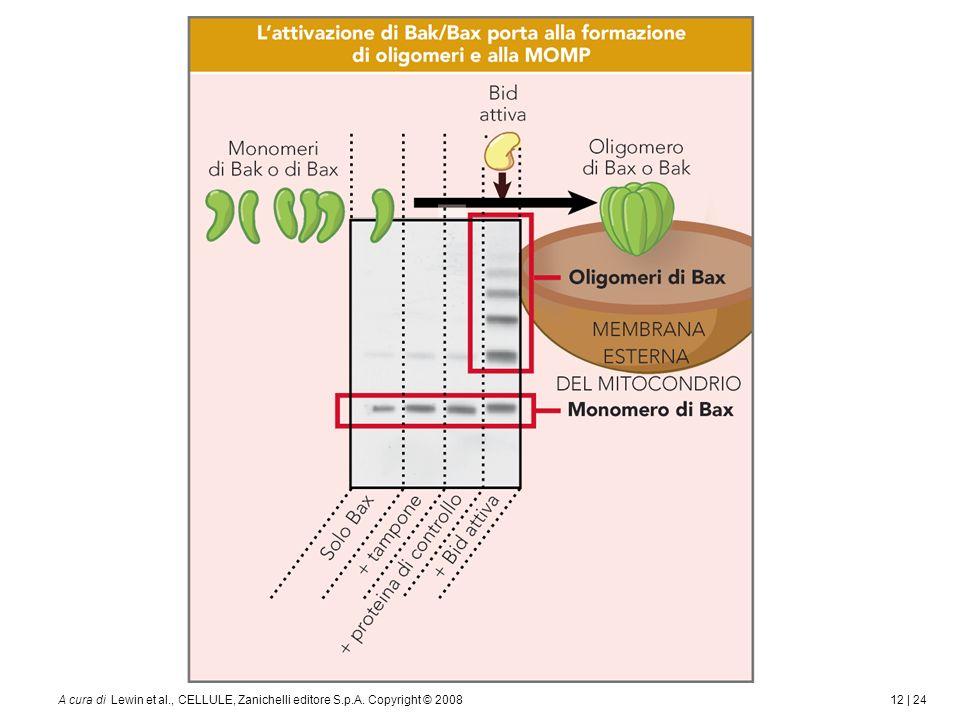 12 | 24A cura di Lewin et al., CELLULE, Zanichelli editore S.p.A. Copyright © 2008