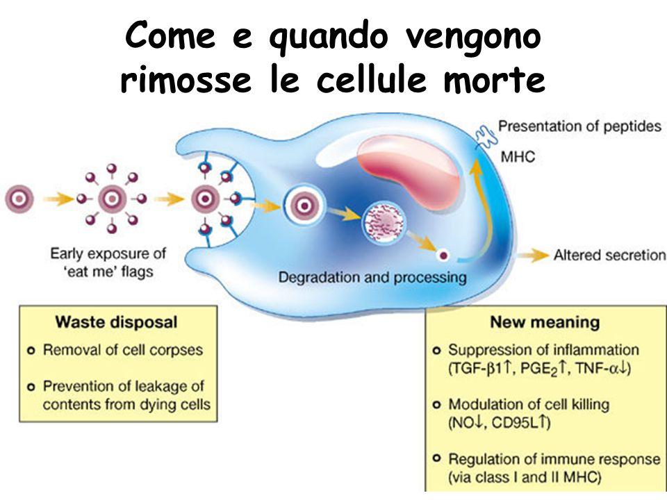 Come e quando vengono rimosse le cellule morte