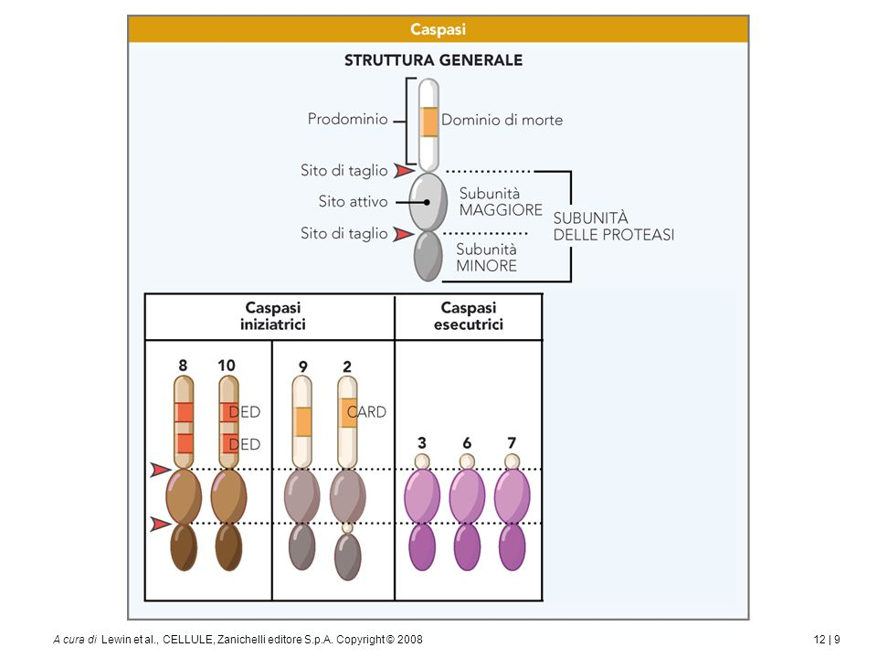 12 | 9A cura di Lewin et al., CELLULE, Zanichelli editore S.p.A. Copyright © 2008