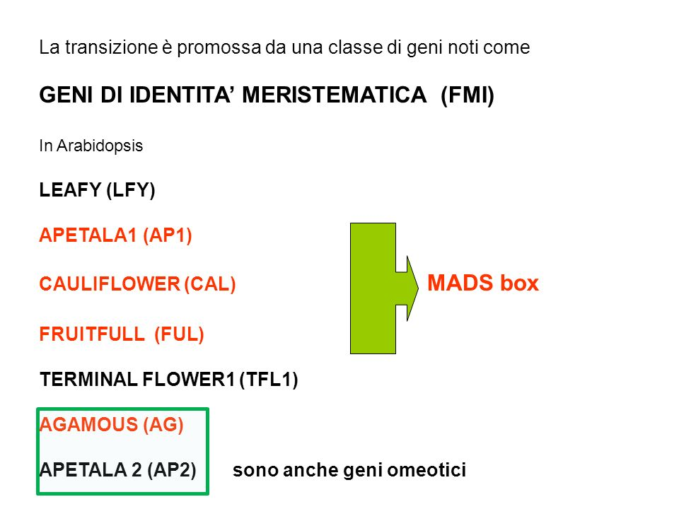 La transizione è promossa da una classe di geni noti come GENI DI IDENTITA MERISTEMATICA (FMI) In Arabidopsis LEAFY (LFY) APETALA1 (AP1) CAULIFLOWER (