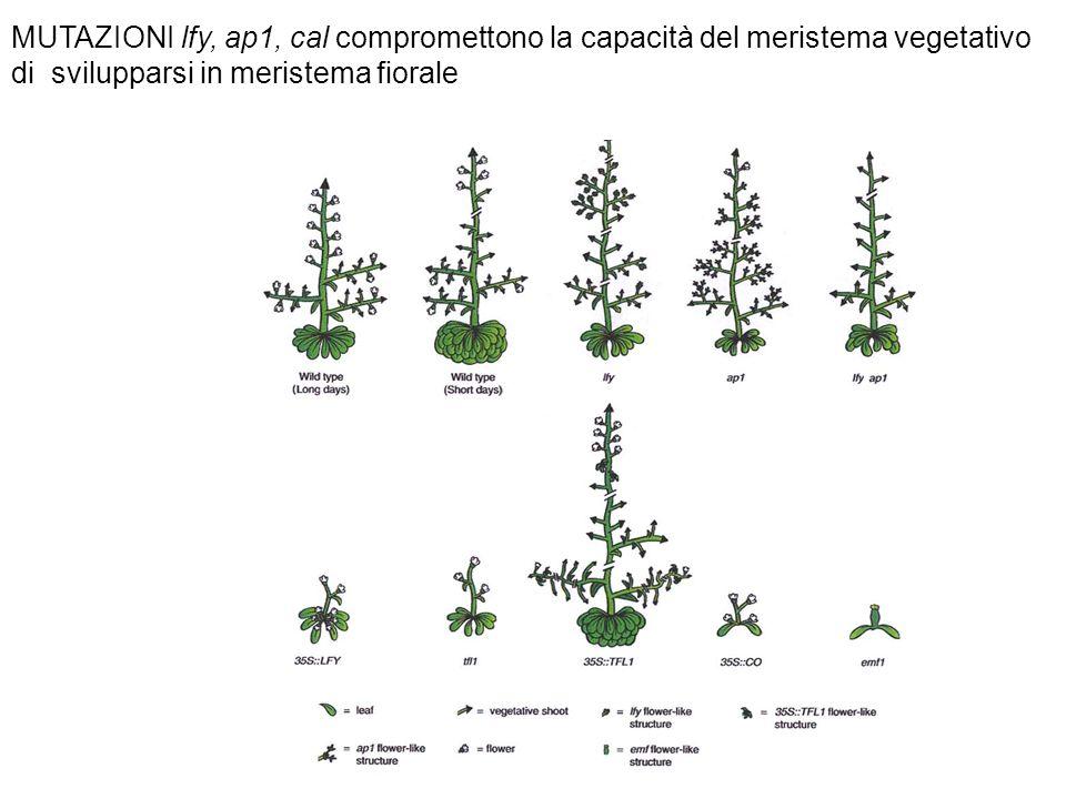 MUTAZIONI lfy, ap1, cal compromettono la capacità del meristema vegetativo di svilupparsi in meristema fiorale