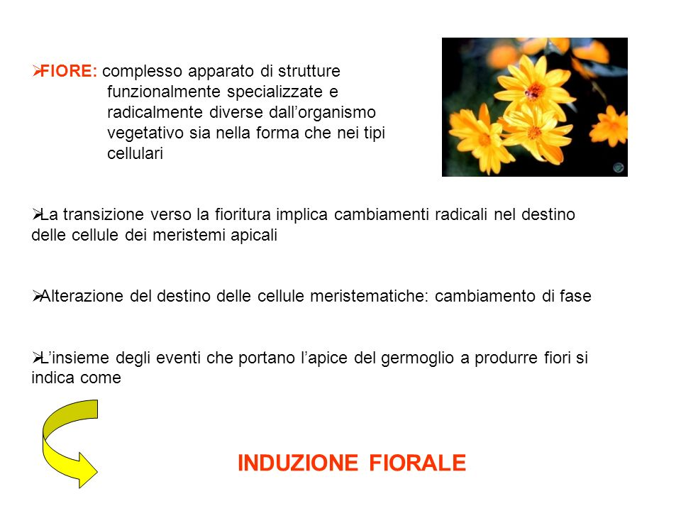 GENI MADS box in specie diverse Anthirrinum arabidopsis petunia pomodoro
