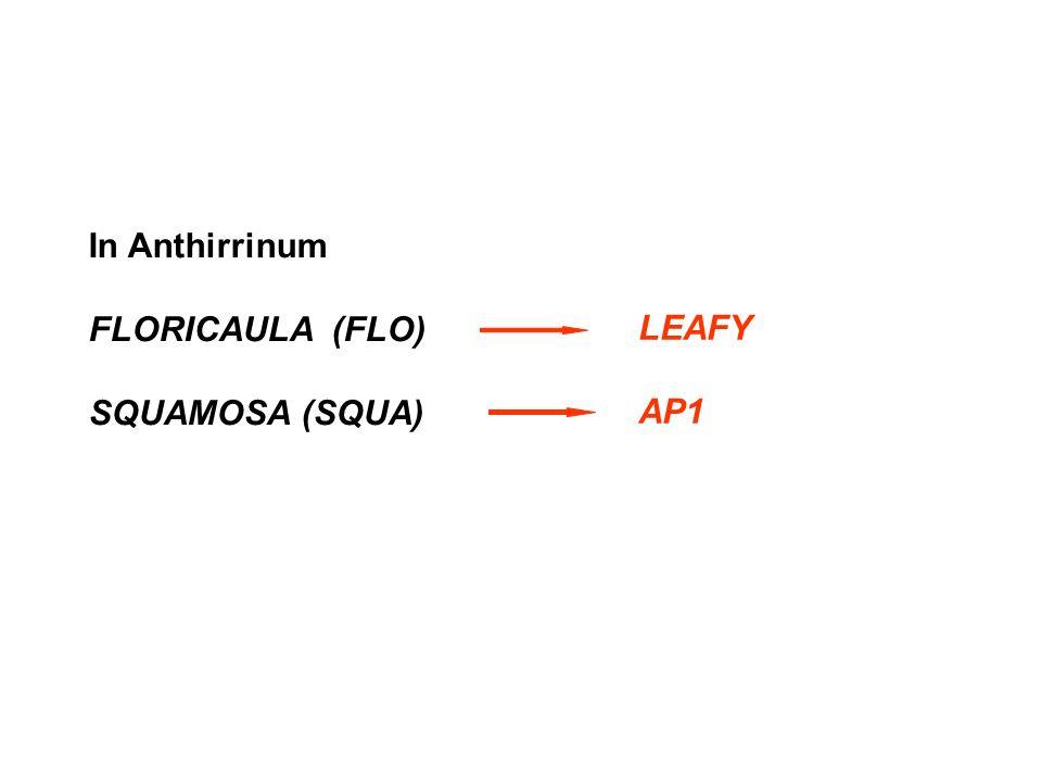 In Anthirrinum FLORICAULA (FLO) SQUAMOSA (SQUA) LEAFY AP1