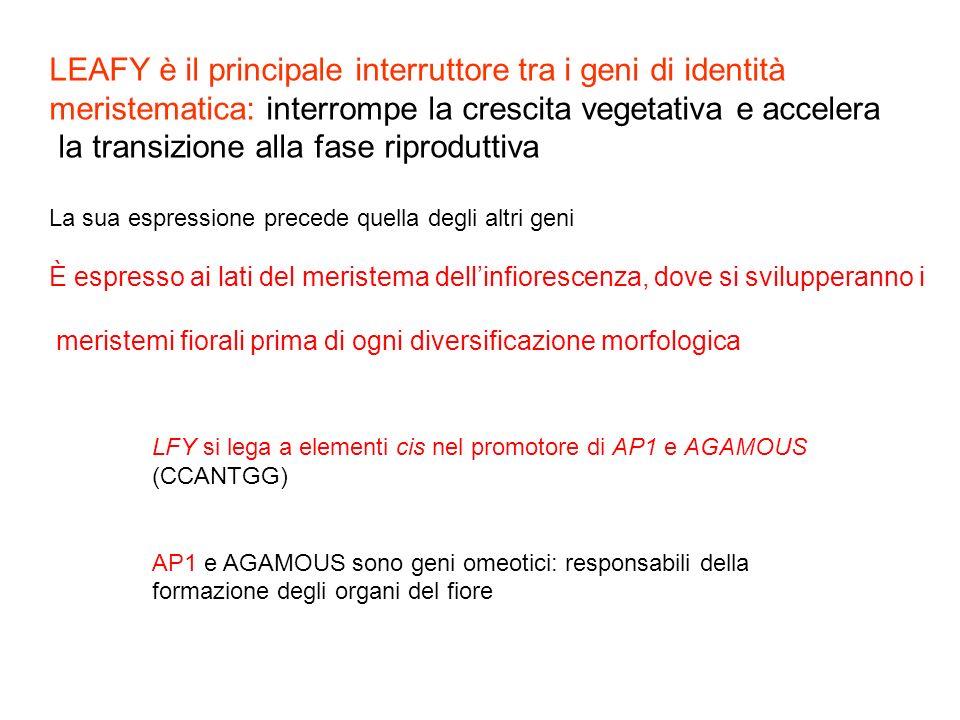 LEAFY è il principale interruttore tra i geni di identità meristematica: interrompe la crescita vegetativa e accelera la transizione alla fase riprodu