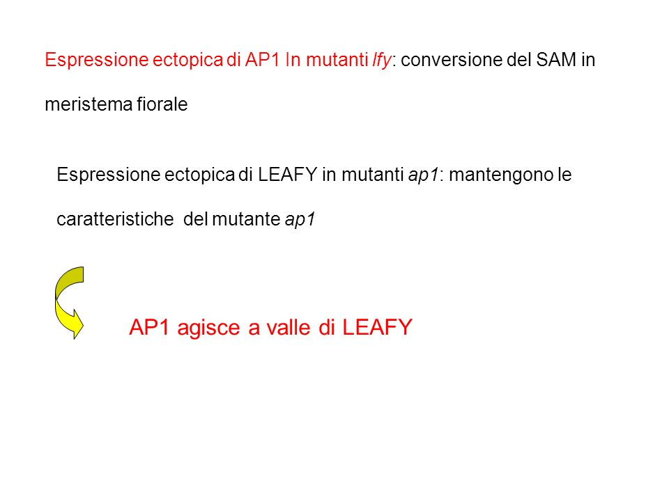 Espressione ectopica di LEAFY in mutanti ap1: mantengono le caratteristiche del mutante ap1 Espressione ectopica di AP1 In mutanti lfy: conversione de