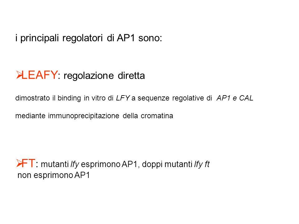 i principali regolatori di AP1 sono: LEAFY : regolazione diretta dimostrato il binding in vitro di LFY a sequenze regolative di AP1 e CAL mediante imm