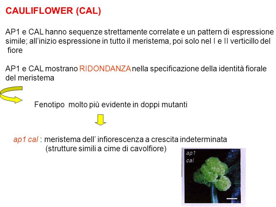 CAULIFLOWER (CAL) AP1 e CAL hanno sequenze strettamente correlate e un pattern di espressione simile; allinizio espressione in tutto il meristema, poi