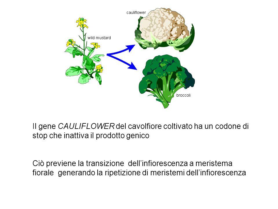 Il gene CAULIFLOWER del cavolfiore coltivato ha un codone di stop che inattiva il prodotto genico Ciò previene la transizione dellinfiorescenza a meri