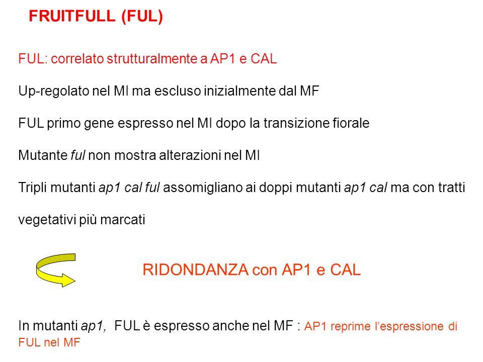 FUL: correlato strutturalmente a AP1 e CAL Up-regolato nel MI ma escluso inizialmente dal MF FUL primo gene espresso nel MI dopo la transizione fioral