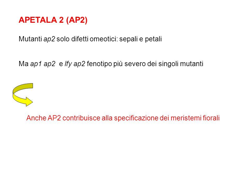 APETALA 2 (AP2) Mutanti ap2 solo difetti omeotici: sepali e petali Ma ap1 ap2 e lfy ap2 fenotipo più severo dei singoli mutanti Anche AP2 contribuisce