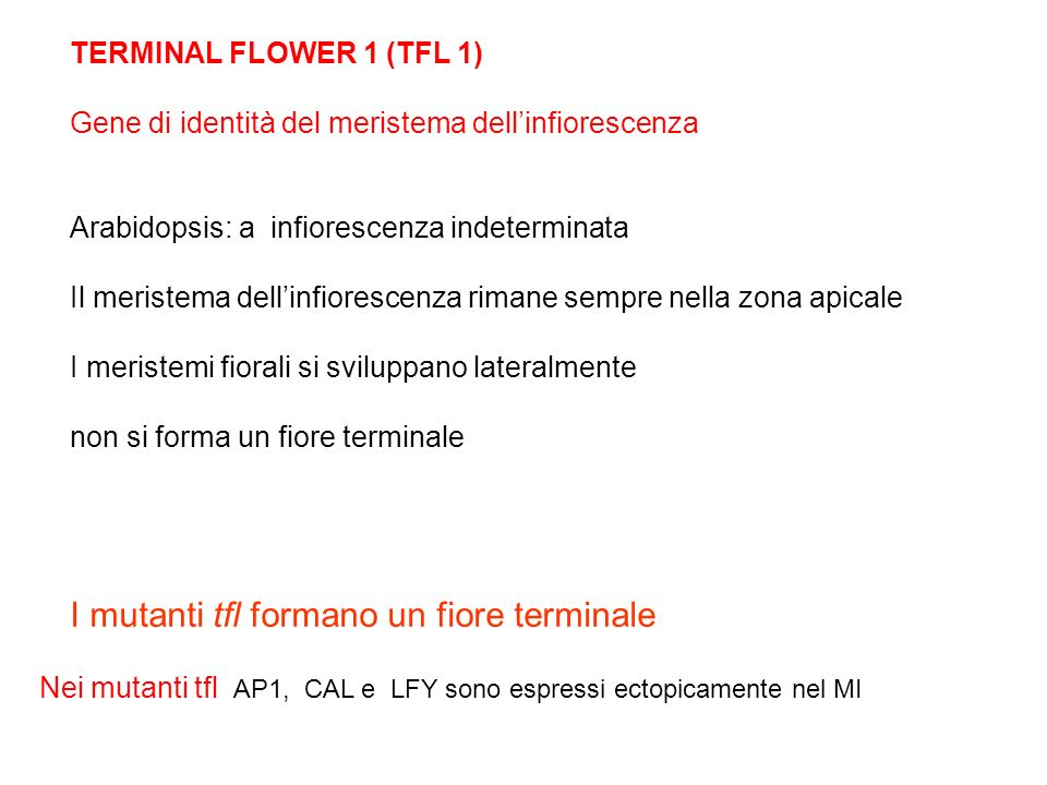 TERMINAL FLOWER 1 (TFL 1) Gene di identità del meristema dellinfiorescenza Arabidopsis: a infiorescenza indeterminata Il meristema dellinfiorescenza r