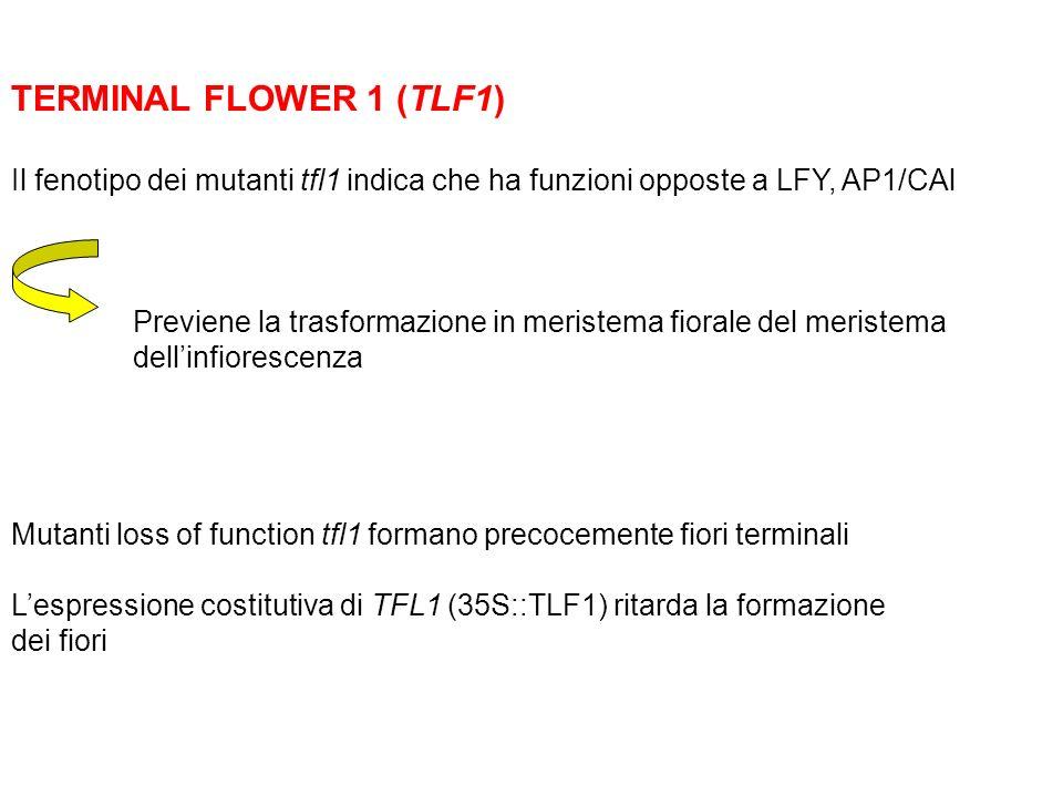 TERMINAL FLOWER 1 (TLF1) Il fenotipo dei mutanti tfl1 indica che ha funzioni opposte a LFY, AP1/CAl Previene la trasformazione in meristema fiorale de