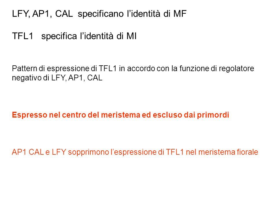 LFY, AP1, CAL specificano lidentità di MF TFL1 specifica lidentità di MI Pattern di espressione di TFL1 in accordo con la funzione di regolatore negat