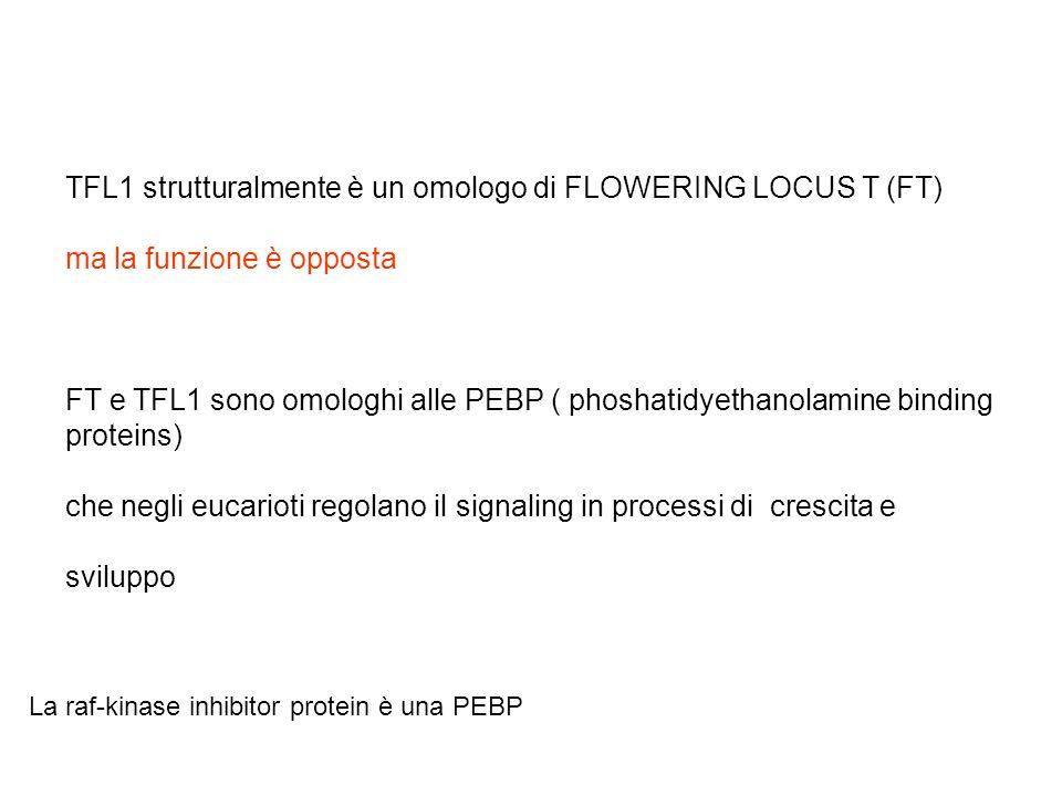 TFL1 strutturalmente è un omologo di FLOWERING LOCUS T (FT) ma la funzione è opposta FT e TFL1 sono omologhi alle PEBP ( phoshatidyethanolamine bindin