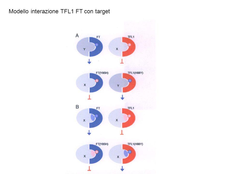 Modello interazione TFL1 FT con target