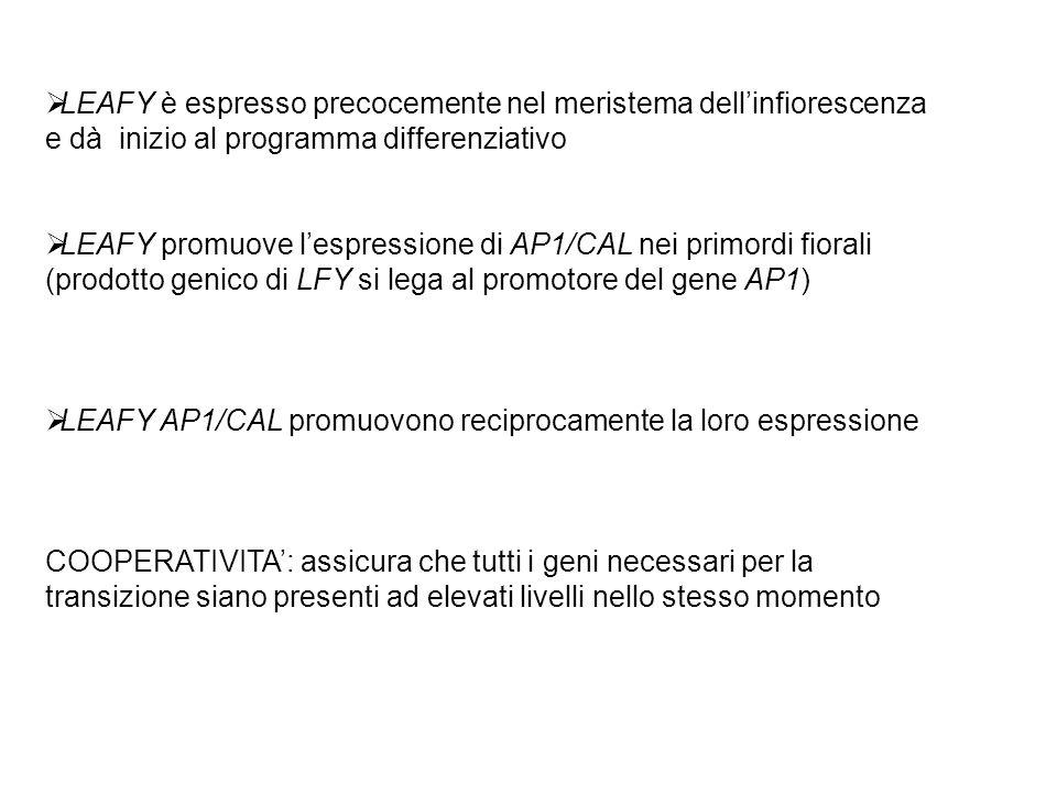 LEAFY è espresso precocemente nel meristema dellinfiorescenza e dà inizio al programma differenziativo LEAFY promuove lespressione di AP1/CAL nei prim