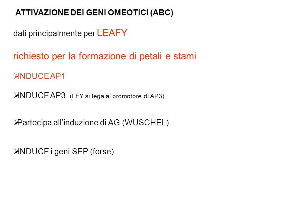 ATTIVAZIONE DEI GENI OMEOTICI (ABC) dati principalmente per LEAFY richiesto per la formazione di petali e stami INDUCE AP1 INDUCE AP3 (LFY si lega al
