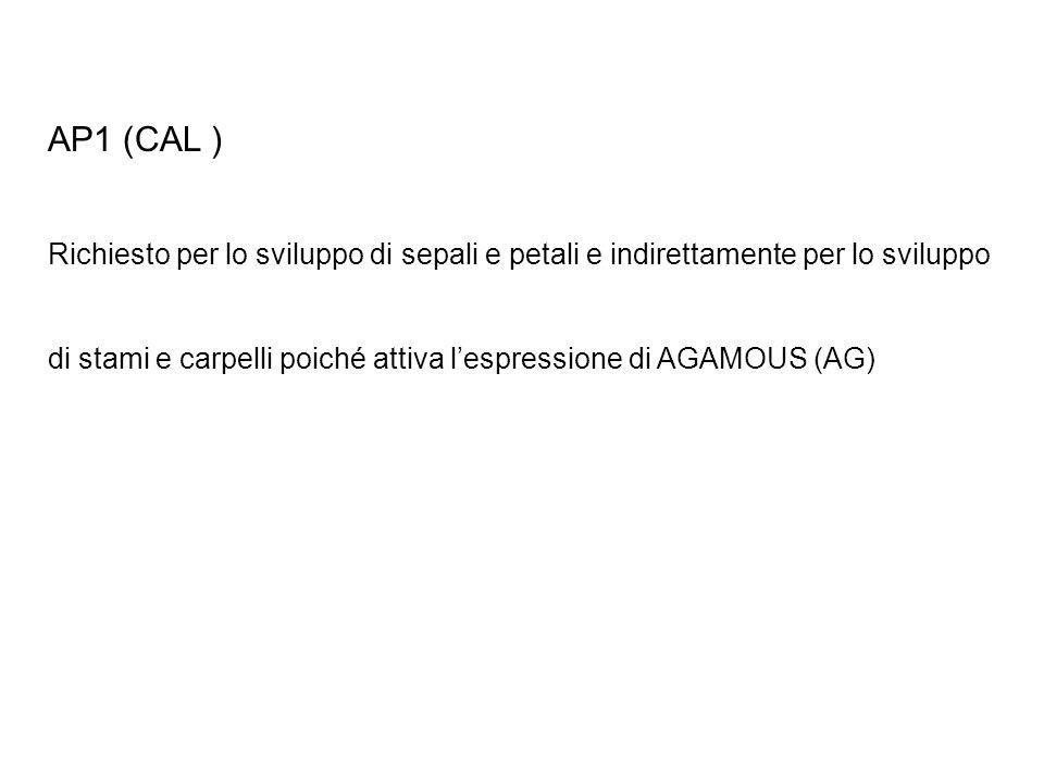 AP1 (CAL ) Richiesto per lo sviluppo di sepali e petali e indirettamente per lo sviluppo di stami e carpelli poiché attiva lespressione di AGAMOUS (AG