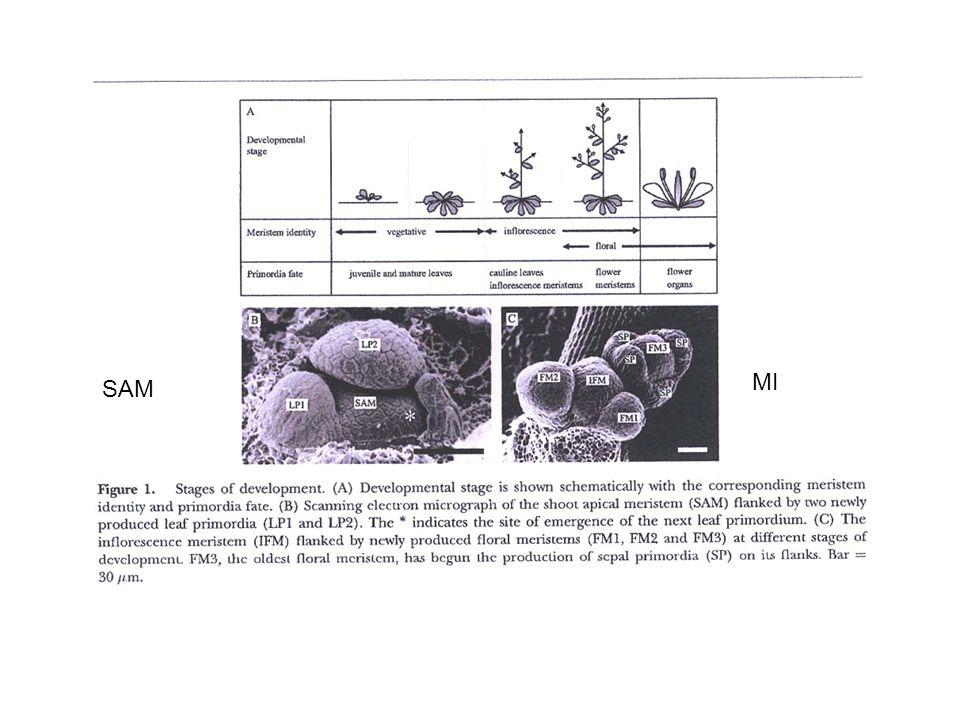 LEAFY comincia ad essere espresso a livello del meristema della infiorescenza nei siti in cui emergono i meristemi fiorali (MF) ma prima della loro comparsa Successivamente, quando cominciano a formarsi i MF viene espresso AP1 con un profilo spaziale sovrapponibile a LEAFY Dal doppio mutante lfy ap1, a transizione fiorale bloccata: RIDONDANZA APETALA 1 (AP1)