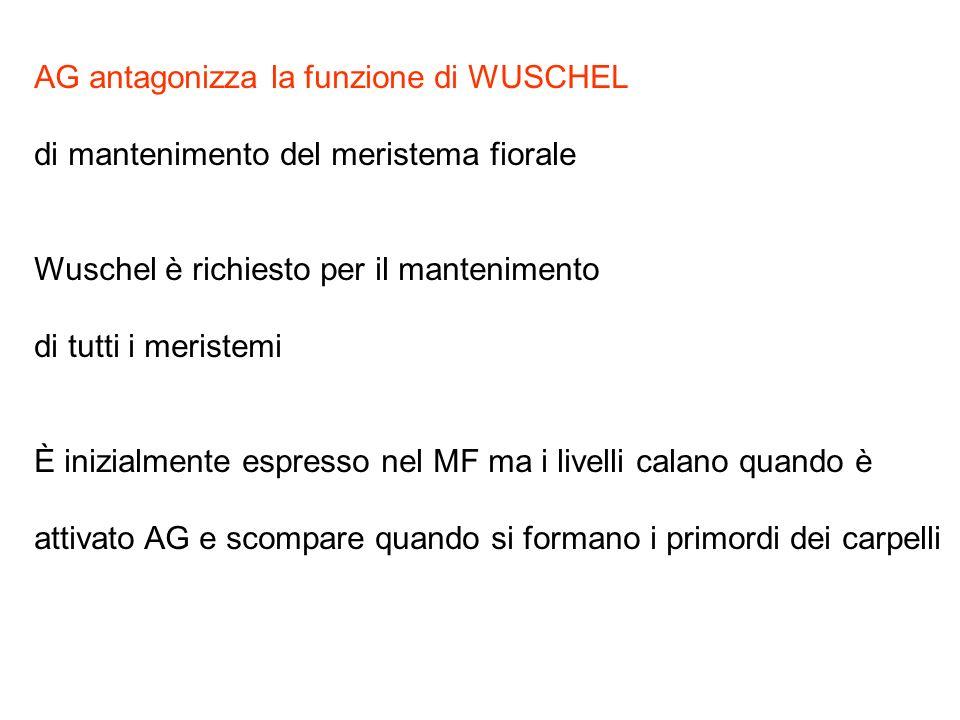 AG antagonizza la funzione di WUSCHEL di mantenimento del meristema fiorale Wuschel è richiesto per il mantenimento di tutti i meristemi È inizialment
