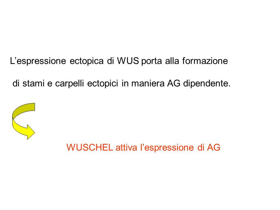 Lespressione ectopica di WUS porta alla formazione di stami e carpelli ectopici in maniera AG dipendente. WUSCHEL attiva lespressione di AG