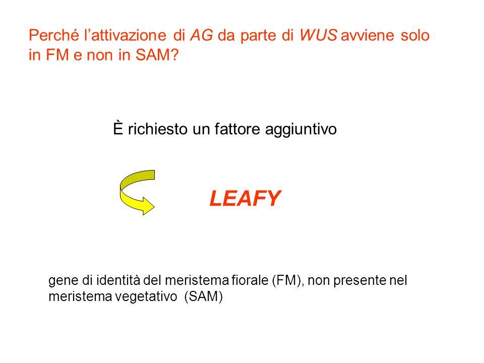Perché lattivazione di AG da parte di WUS avviene solo in FM e non in SAM? È richiesto un fattore aggiuntivo LEAFY gene di identità del meristema fior