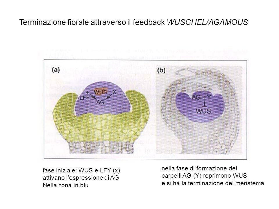 Terminazione fiorale attraverso il feedback WUSCHEL/AGAMOUS fase iniziale: WUS e LFY (x) attivano lespressione di AG Nella zona in blu nella fase di f