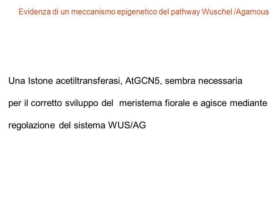 Una Istone acetiltransferasi, AtGCN5, sembra necessaria per il corretto sviluppo del meristema fiorale e agisce mediante regolazione del sistema WUS/A