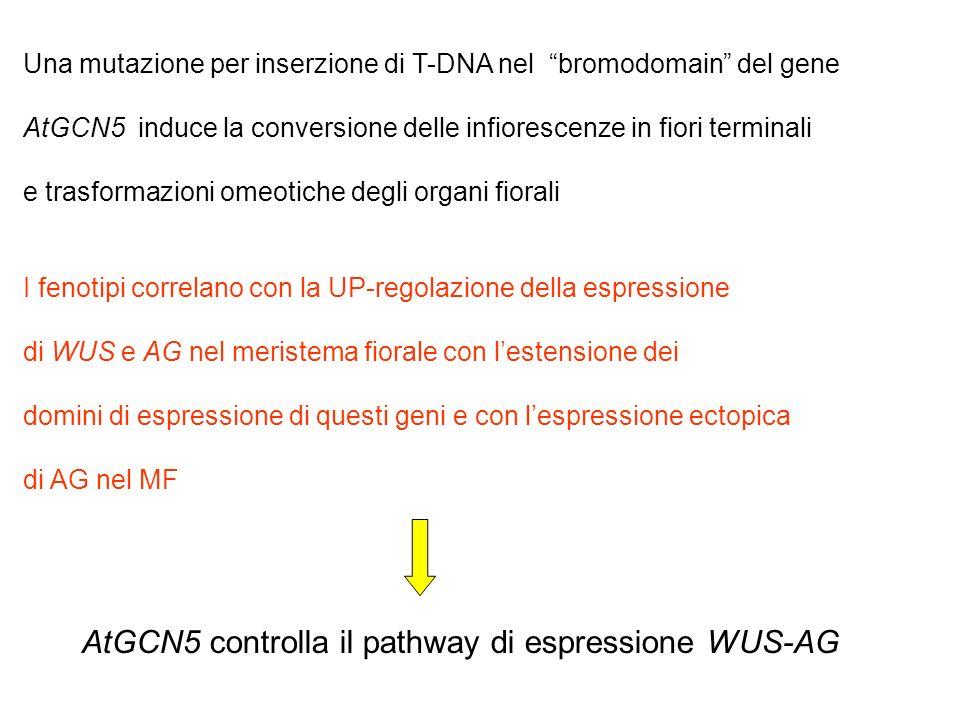 Una mutazione per inserzione di T-DNA nel bromodomain del gene AtGCN5 induce la conversione delle infiorescenze in fiori terminali e trasformazioni om