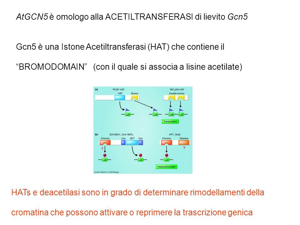 AtGCN5 è omologo alla ACETILTRANSFERASI di lievito Gcn5 Gcn5 è una Istone Acetiltransferasi (HAT) che contiene il BROMODOMAIN (con il quale si associa