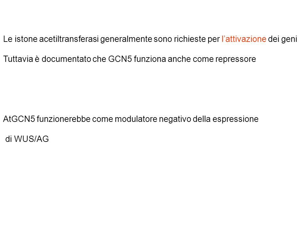Le istone acetiltransferasi generalmente sono richieste per lattivazione dei geni Tuttavia è documentato che GCN5 funziona anche come repressore AtGCN