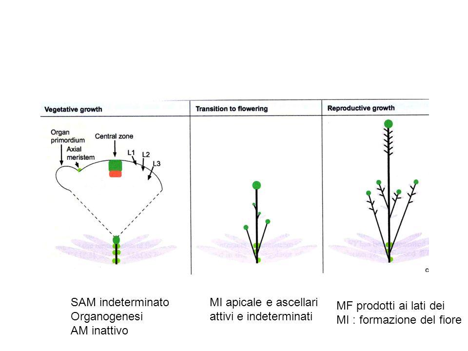 SAM indeterminato Organogenesi AM inattivo MI apicale e ascellari attivi e indeterminati MF prodotti ai lati dei MI : formazione del fiore