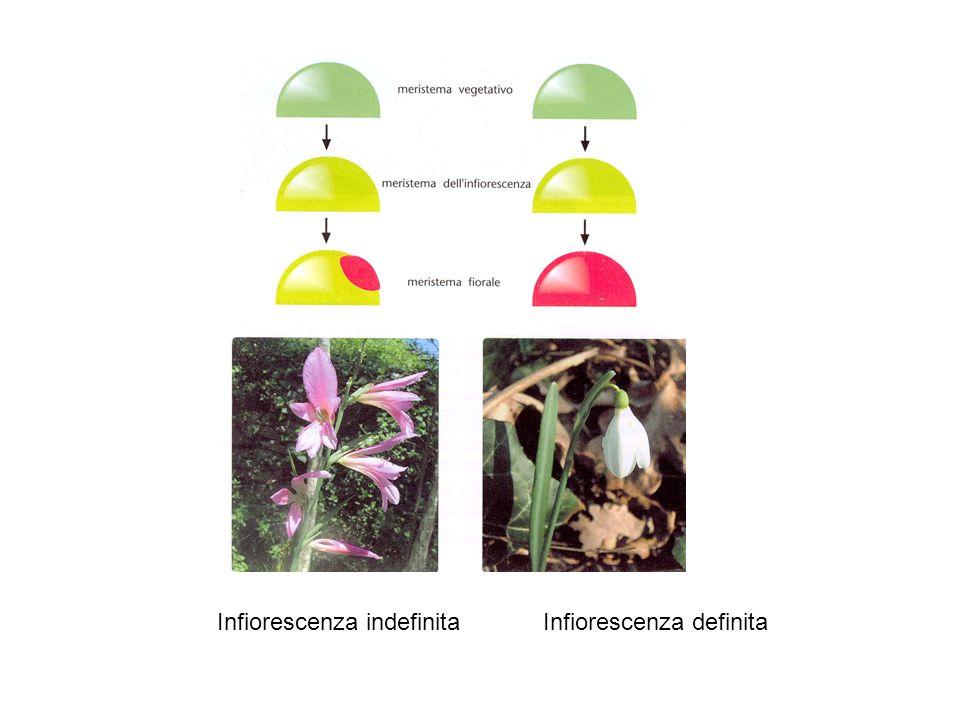 TERMINAZIONE Il meristema fiorale è a crescita determinata Una volta completato il differenziamento del fiore il meristema cessa di accrescersi AGAMOUS è linterruttore per il segnale di terminazione Il segnale coinvolge la funzione di WUSCHEL