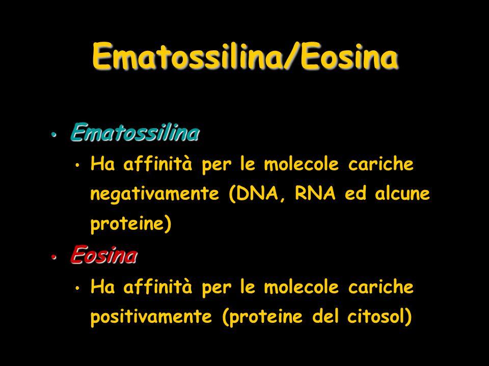 Ematossilina Ematossilina Ha affinità per le molecole cariche negativamente (DNA, RNA ed alcune proteine) Eosina Eosina Ha affinità per le molecole ca